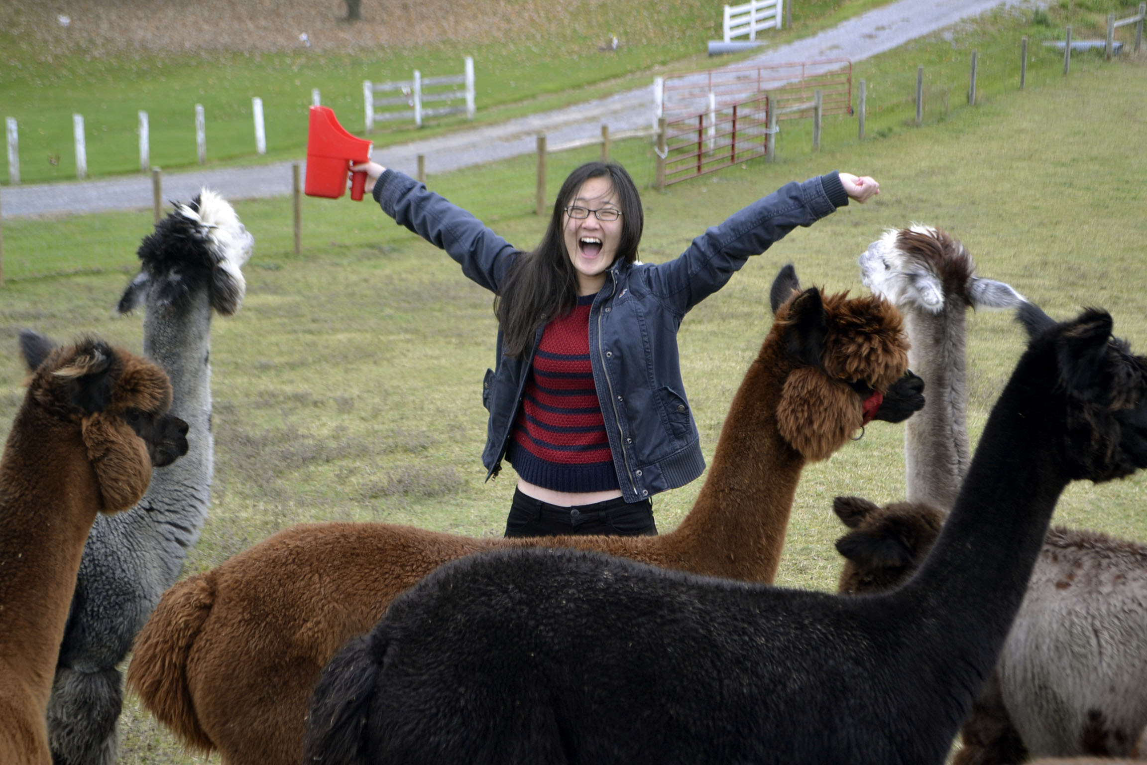 Alpacas surround